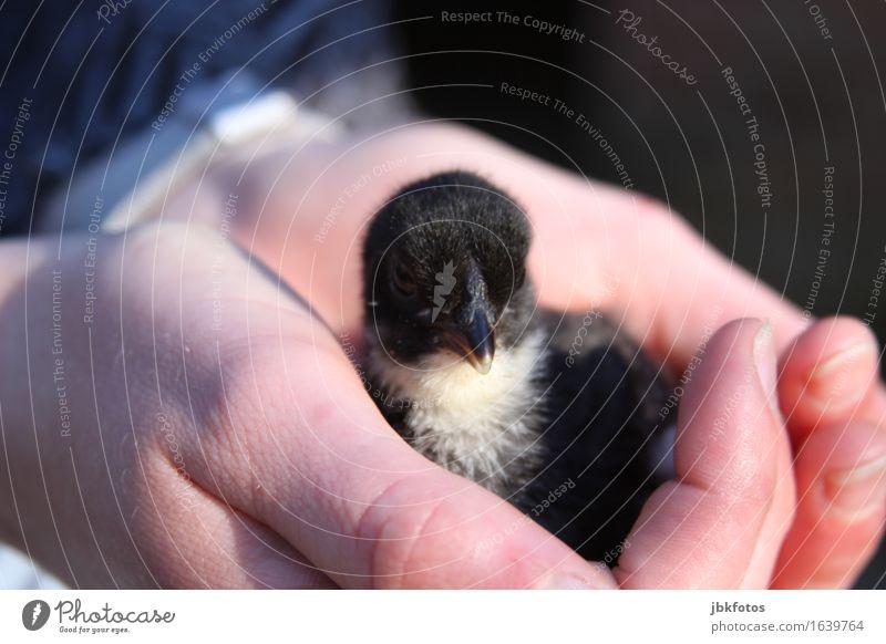 kleiner Handwärmer Lebensmittel Ernährung Umwelt Natur Tier Haustier Nutztier Haushuhn Hahn Küken Tierjunges ästhetisch außergewöhnlich trendy schön einzigartig