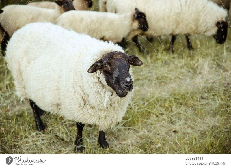 Määäh? Fleisch Ernährung Bioprodukte Umwelt Natur Landschaft Tier Gras Sträucher Grünpflanze Heu Wiese Feld Nutztier Fell Zoo Streichelzoo Schaf Tiergruppe