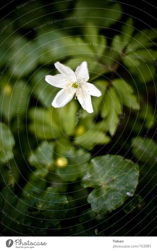 Morning Star Natur weiß grün Pflanze Blume Umwelt Blüte Stil Wachstum frisch authentisch ästhetisch Idylle Schönes Wetter Blühend Frieden