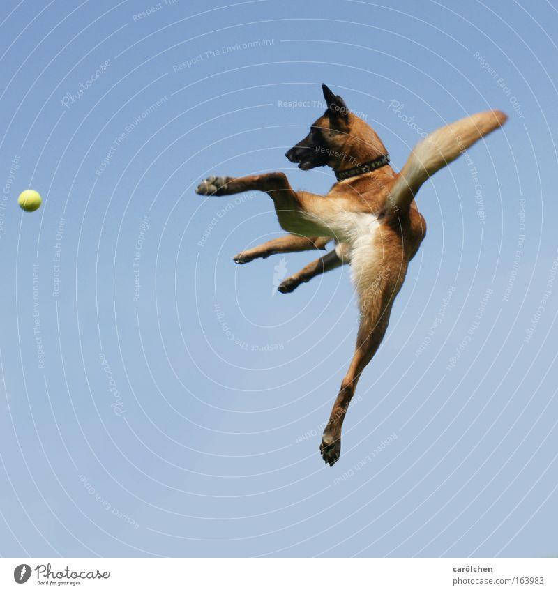 flying dog cash Farbfoto Tierporträt Fitness Sport-Training Ballsport nur Himmel Haustier Hund Belgischer Schäferhund Bewegung fangen springen toben warten