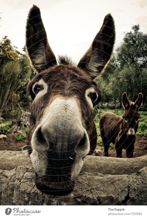 Animal Farm #3 Außenaufnahme Tierporträt Blick in die Kamera Feld Nutztier Tiergesicht 2 Neugier niedlich braun Ohr Schnauze Esel Muli Tag