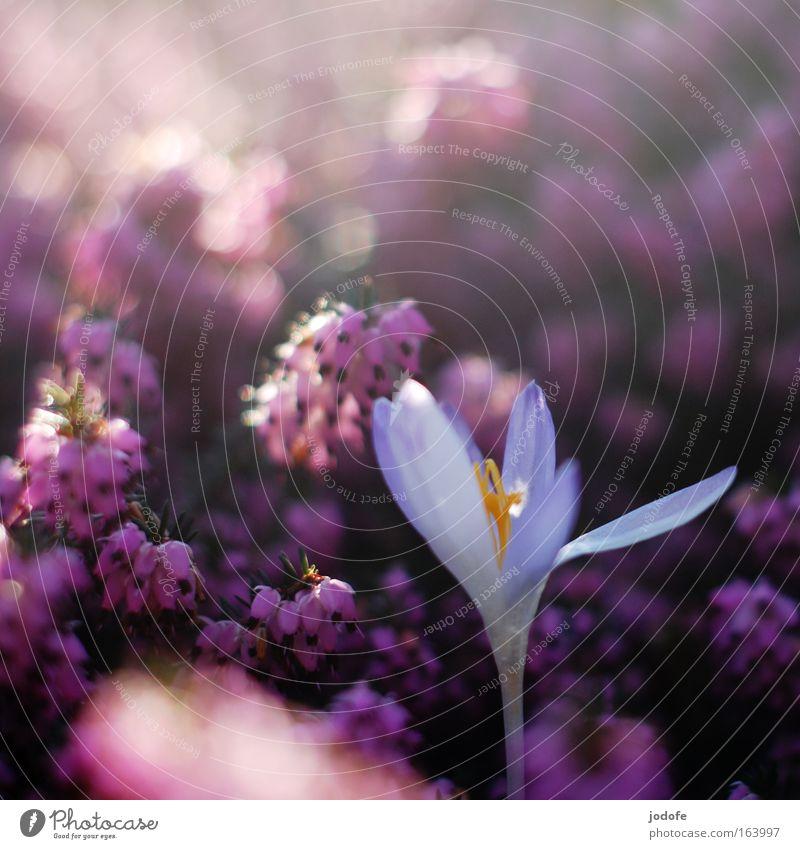 mut zur individualität Natur weiß Pflanze Blüte Berge u. Gebirge Frühling Park Umwelt ästhetisch Kommunizieren violett einzigartig Idylle Duft Schönes Wetter