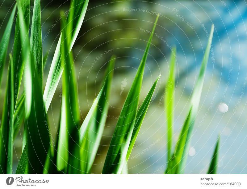 Graswelten Schilfrohr biotope cane grass blades of grass reed stem Kontrast confused stems grassla nature flora geblümt Wiese crosswise blured herb