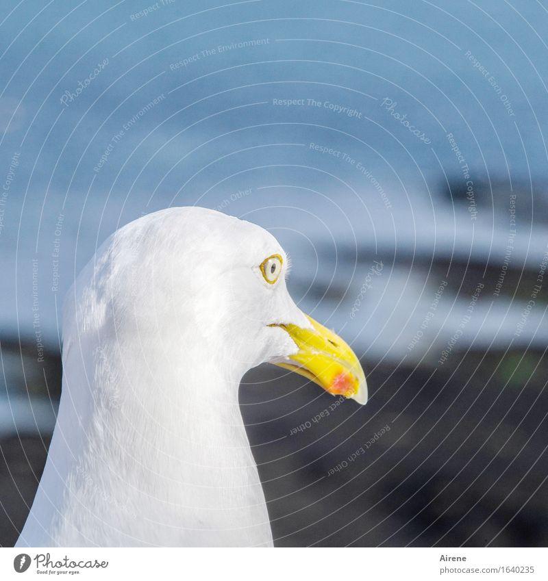 markantes Profil Tier Vogel Tiergesicht Möwe 1 maritim blau weiß Farbfoto Außenaufnahme Menschenleer Hintergrund neutral Tag Tierporträt Blick nach vorn