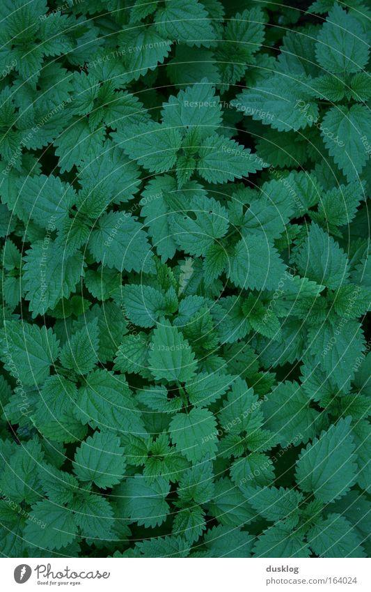Brennessel Farbfoto Außenaufnahme Nahaufnahme Detailaufnahme Makroaufnahme Menschenleer Vogelperspektive Blick nach unten Umwelt Natur Pflanze Gras Sträucher