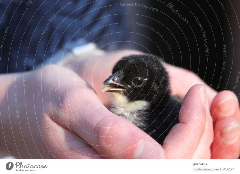 Nächstenliebe / In schützenden Händen Lebensmittel Ernährung Umwelt Natur Tier Nutztier Vogel Tiergesicht Flügel Küken Haushuhn Hahn 1 Tierjunges trendy