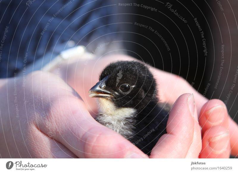 schützende Hände Lebensmittel Ernährung Umwelt Natur Tier Haustier Nutztier Wildtier Vogel Küken Haushuhn Hahn 1 Tierjunges Gefühle Freude Glück Zufriedenheit