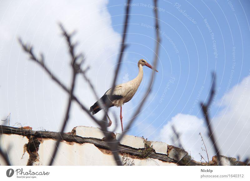 Storch Himmel Wolken Schönes Wetter Wildtier Vogel Flügel 1 Tier beobachten fliegen ästhetisch bedrohlich blau schwarz weiß Kraft achtsam Wachsamkeit Misstrauen