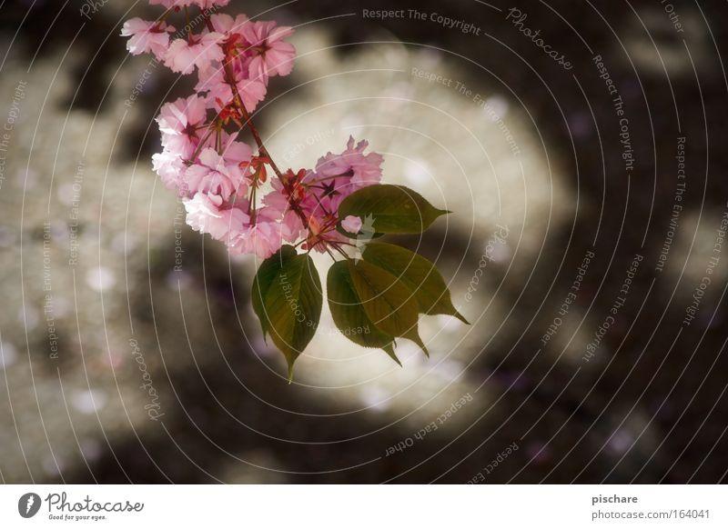 Für Herrn Krempl... Natur Pflanze Frühling Schönes Wetter Baum Blüte Kirschblüten Kirsche Park Blühend leuchten ästhetisch Kitsch schön rosa Frühlingsgefühle