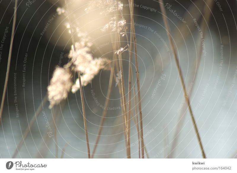 moorsommer Natur Sonne Sonnenlicht Frühling Pflanze Gras Sträucher Wildpflanze Seeufer Flussufer Moor Frühlingsgefühle Warmherzigkeit ruhig Leben Heimweh