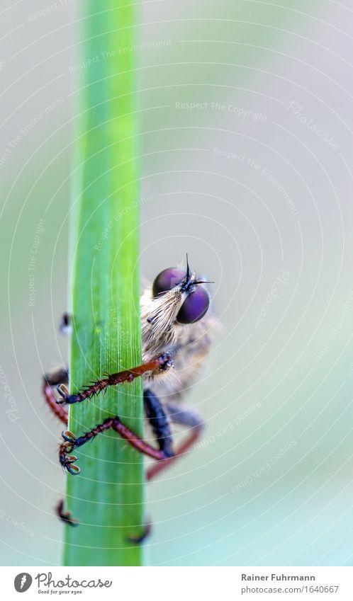"""eine Raubfliege beobachtet skeptisch einen Fotografen Tier Wildtier Fliege """"Raubfliege,"""" 1 Natur """"Jagdfliege Predator Asilidae"""" Farbfoto Makroaufnahme"""