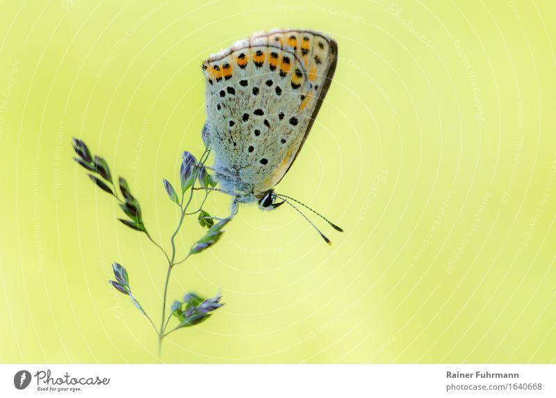 ein zarter Bläuling sitzt auf einem Grashalm Natur Wiese Tier Schmetterling 1 Zufriedenheit Tierliebe ästhetisch Farbfoto Außenaufnahme Makroaufnahme Tag