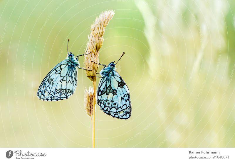 zwei Schachbrettfalter sitzen an einem Grashalm Tier Liebe Wildtier Schmetterling