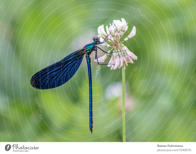 """ein Männchen der Prachtlibelle sitzt an einer Kleeblüte Natur Wiese Tier Wildtier """"Insekt Libelle Prachtlibelle"""" 1 """"schlafende Weide Futterklee Elfe Schönheit"""""""