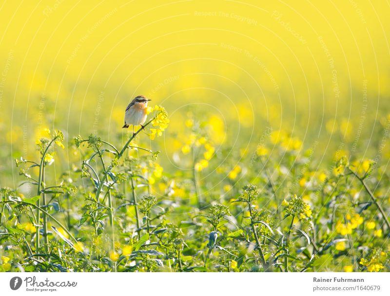 """ein Braunkehlchen sitzt in einem blühenden Rapsfeld Umwelt Natur Landschaft Frühling Schönes Wetter Wärme Feld Tier Vogel 1 """"Paps gelb Landwirtschaft"""