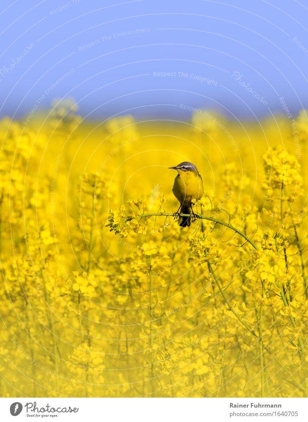 """Harmonie in gelb - Rapsfeld mit Schafstelze Tier Vogel 1 sitzen Zufriedenheit Tierliebe Natur """"Harmonie alternative Energie ökologisch"""" Farbfoto Außenaufnahme"""