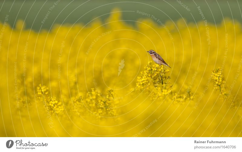 """ein Braunkehlchen in einem blühenden Rapsfeld Umwelt Natur Landschaft Pflanze Tier Feld """"Braunkehlchen Singvogel"""" 1 Lebensfreude Frühlingsgefühle """"gelb leuchten"""