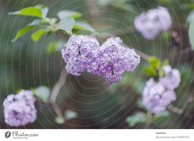 die schönste Jahreszeit Natur Pflanze Frühling Sträucher Blatt Blüte Menschenleer Blühend grün violett Fliederbusch Mai Farbfoto Gedeckte Farben Außenaufnahme