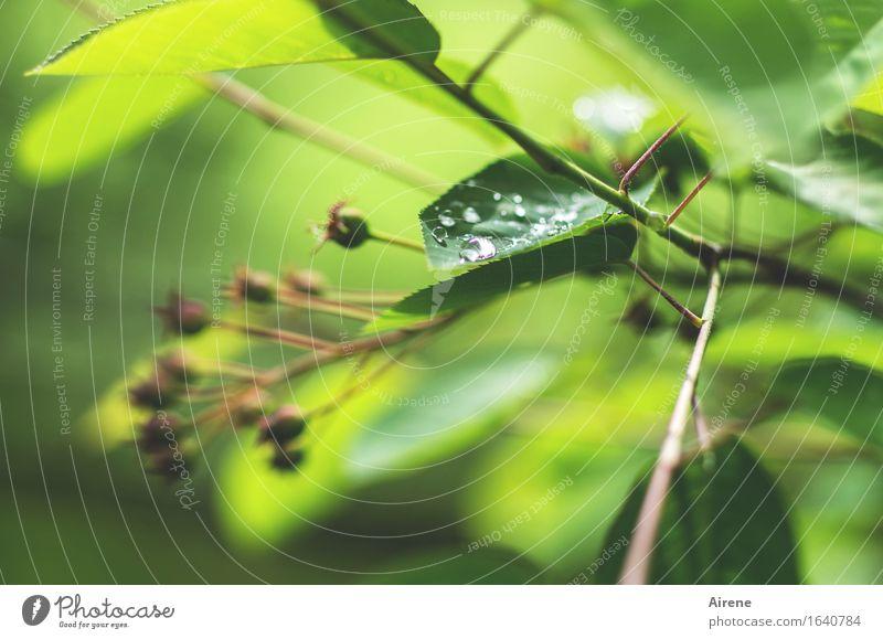 Mairegen III Pflanze Wasser Wassertropfen Frühling Wetter Sträucher Blatt Felsenbirne Tropfen frisch nass grün Regen Farbfoto Außenaufnahme Menschenleer