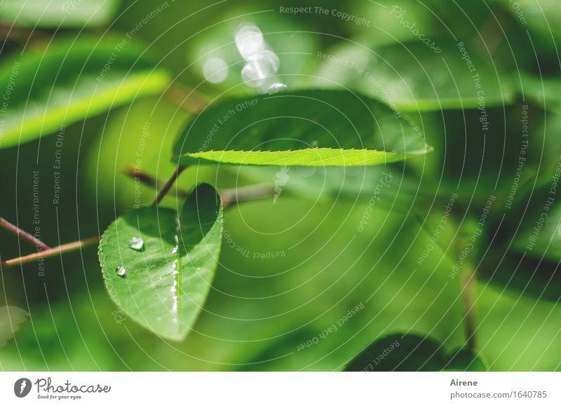 Mairegen IV Pflanze Wasser Wassertropfen Frühling Wetter Sträucher Blatt Felsenbirne Perle Tropfen glänzend frisch nass grün Frühlingsgefühle glitzern Farbfoto