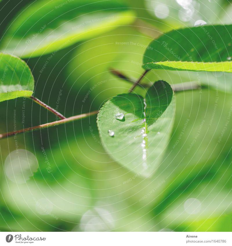 Mairegen V Wasser Wassertropfen Frühling Wetter Pflanze Sträucher Blatt Felsenbirne Tropfen frisch glänzend nass natürlich grün Farbfoto Außenaufnahme