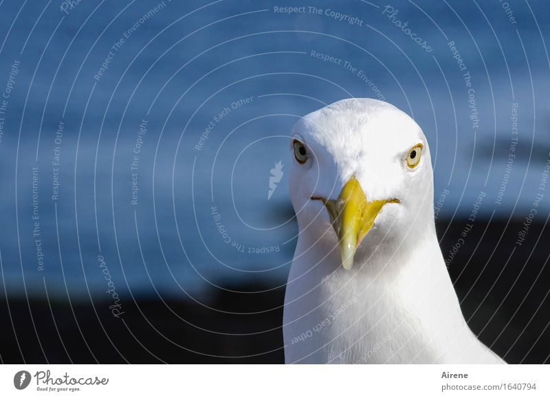 direkter Blick Tier Vogel Möwe Möwenvögel 1 bedrohlich frech maritim Neugier blau weiß Schnabel Kopf Vogelschnabel Farbfoto Außenaufnahme Menschenleer