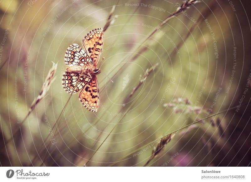 Schön von hinten Natur schön Tier Umwelt Wiese Gras Garten fliegen braun orange Wildtier gold Perspektive Flügel Insekt Schmetterling
