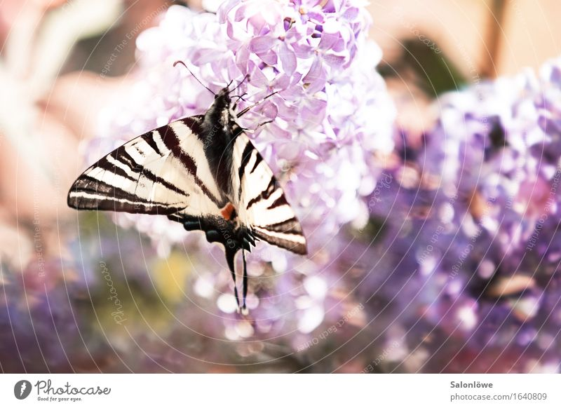 Segelfalter meets Flieder Tier Schmetterling Flügel 1 fliegen Duft violett weiß Umwelt Umweltschutz elegant Fliederbusch Sommer schön Artenschutz Artenreichtum