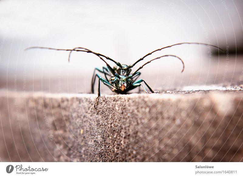 A big Käferlove Umwelt Natur Tier Wildtier 2 Tierfamilie Stein krabbeln Liebe elegant glänzend grün Sympathie Zusammensein Tierliebe Verliebtheit Sex
