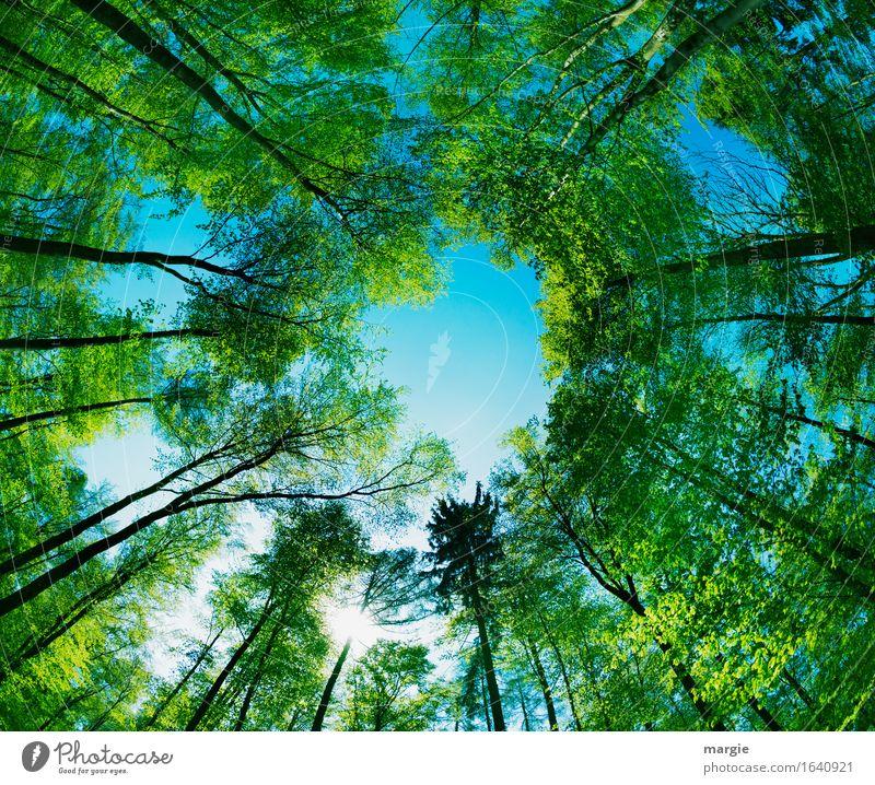 Durchblick: grüne hohe Bäume bilden ein Loch zum blauen Himmel Ausflug Umwelt Natur Baum Wald Geborgenheit Hoffnung Glaube Unendlichkeit Baumstamm Baumkrone Mai