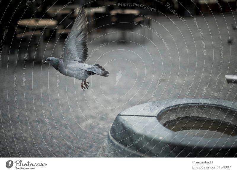 Taube Farbfoto Außenaufnahme Tag Zentralperspektive Tier 1 Stein Wasser Fährte fliegen Idylle