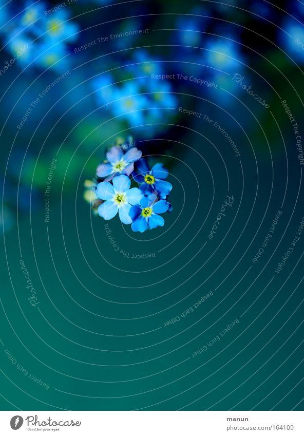 ne m'oublie pas! blau Pflanze schön grün Sommer Blume Frühling Blüte Wohnung leuchten Dekoration & Verzierung ästhetisch Blühend Zeichen Romantik Verliebtheit