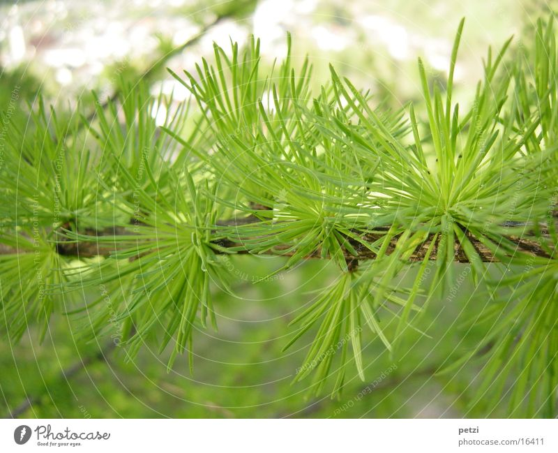 Lärchenzweig Umwelt Natur Pflanze Grünpflanze stachelig grün frisches grün Zweig Tannennadel Farbfoto mehrfarbig Außenaufnahme Detailaufnahme Textfreiraum oben
