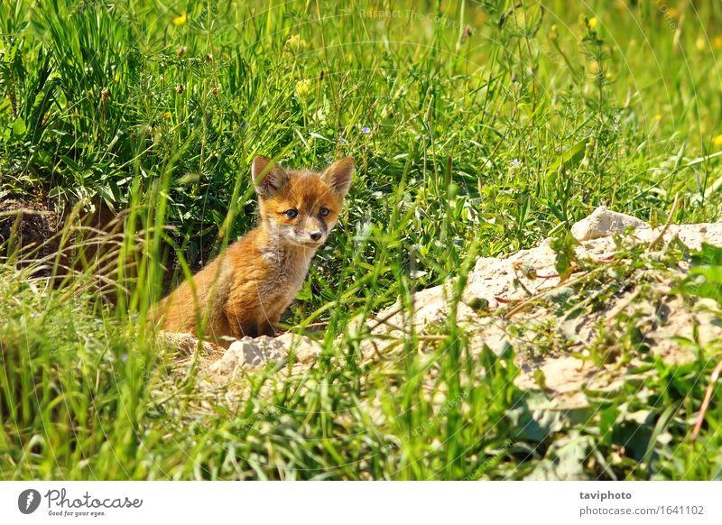 junger roter Fuchs schön Gesicht Baby Frau Erwachsene Familie & Verwandtschaft Jugendliche Natur Tier Gras Wald Pelzmantel Hund Tierjunges stehen klein niedlich
