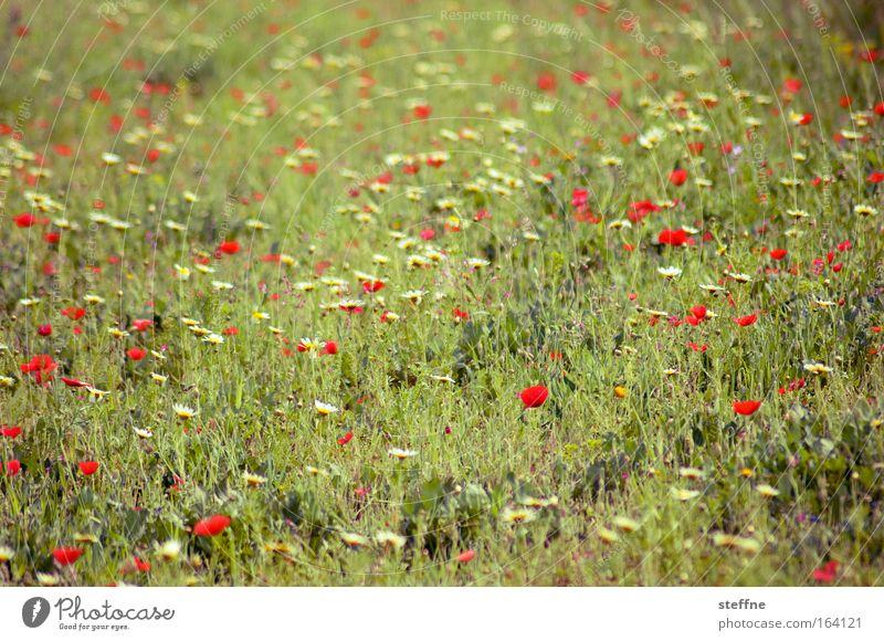 mohnlight dancer Natur Pflanze Wiese Gras Frühling Zufriedenheit Zusammensein Fröhlichkeit Romantik Lebensfreude Mohn Schönes Wetter Gänseblümchen Verliebtheit Begeisterung Optimismus