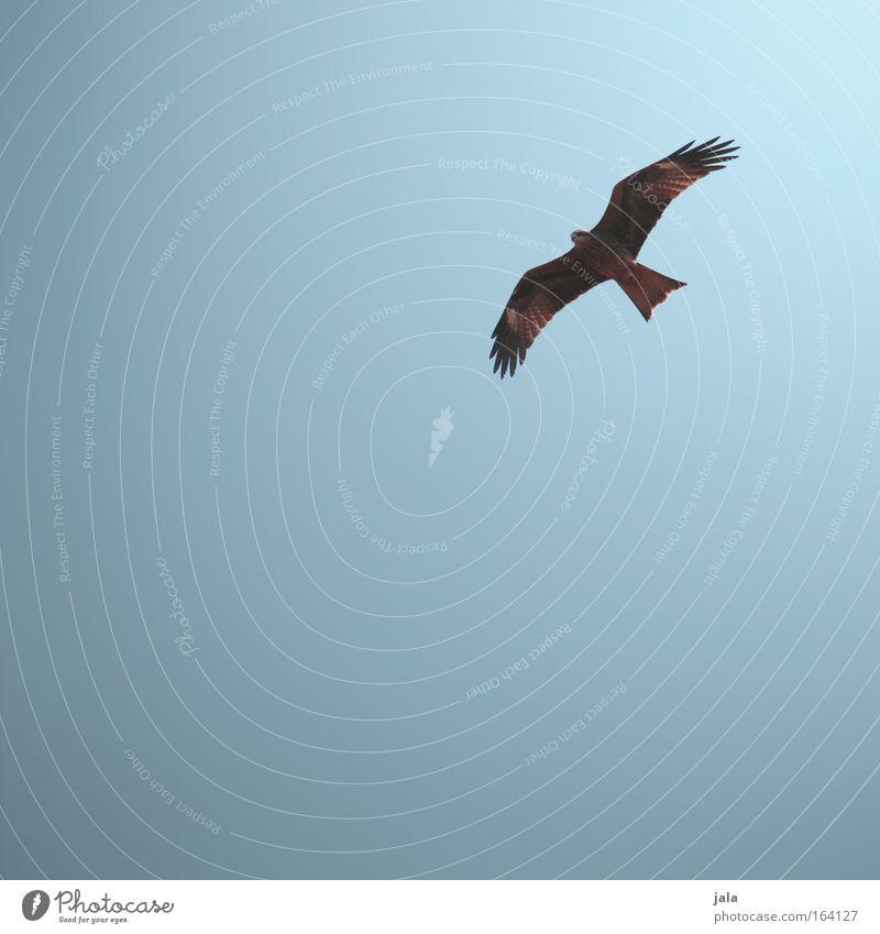 Überflieger Farbfoto Außenaufnahme Menschenleer Textfreiraum links Textfreiraum unten Hintergrund neutral Tag Sonnenlicht Wolkenloser Himmel Tier Vogel Farbe