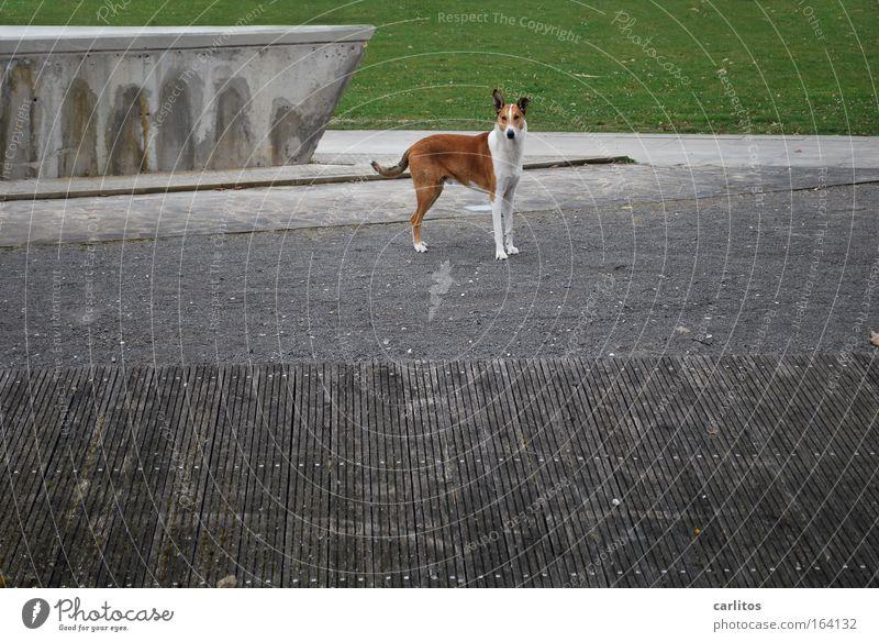 wuff Farbfoto Gedeckte Farben Außenaufnahme Textfreiraum rechts Tag Zentralperspektive Weitwinkel Tierporträt Blick in die Kamera Gras Park Menschenleer