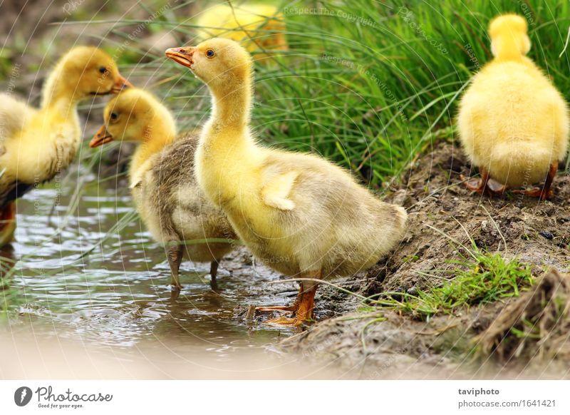 süße gelbe Gänseleber trinken schön Leben Baby Natur Tier Frühling Gras Teich Fluss Vogel klein lustig niedlich grün Gössel Schwarm jung Bauernhof