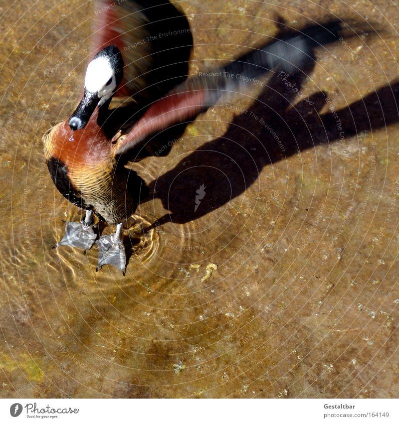 Entenbraten Wasser weiß schön Tier schwarz oben Freiheit Bewegung Sand braun Vogel Kraft gold Schwimmen & Baden fliegen wild