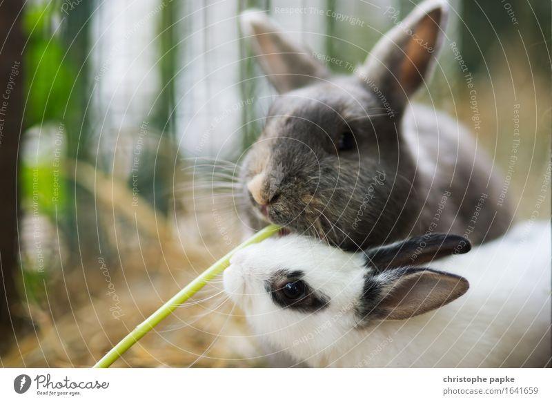Kaninchenlunch Tier Haustier Tiergesicht Fell Streichelzoo 2 Tierjunges Fressen füttern Fröhlichkeit kuschlig niedlich Zufriedenheit Zusammensein Tierliebe