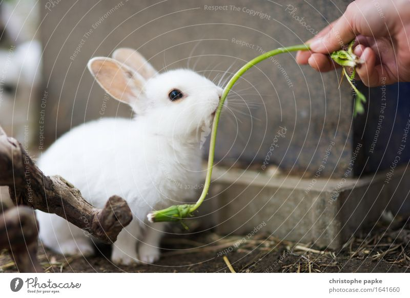 Misses Greenmnjamm Garten Hand Tier Haustier Tiergesicht 1 füttern Neugier niedlich Tierliebe Hase & Kaninchen Stall außengehege weiß Farbfoto Außenaufnahme