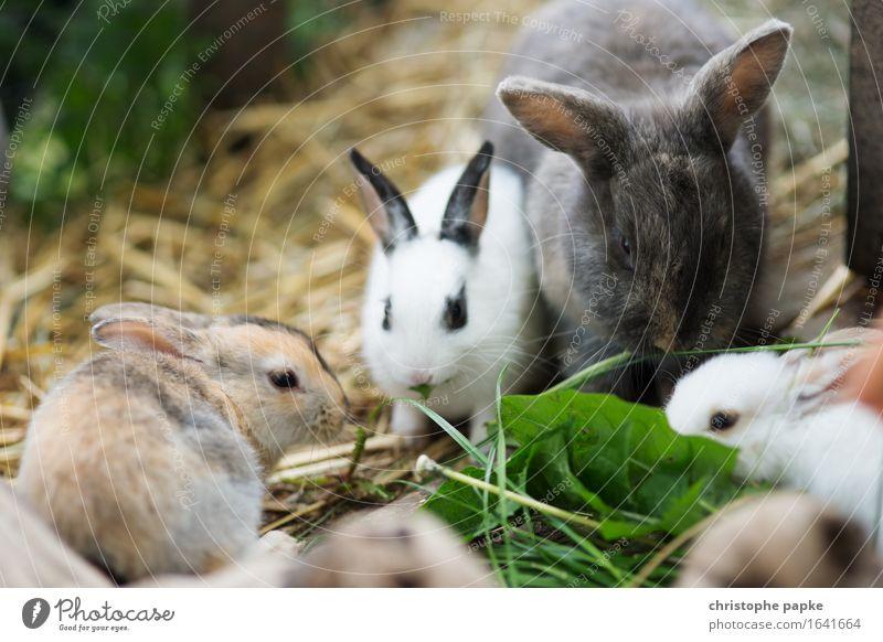 Darum liegt da Stroh Tier Haustier Hase & Kaninchen Tiergruppe Fressen niedlich Tierliebe Essen Stall füttern Ostern Heu Farbfoto Außenaufnahme Nahaufnahme