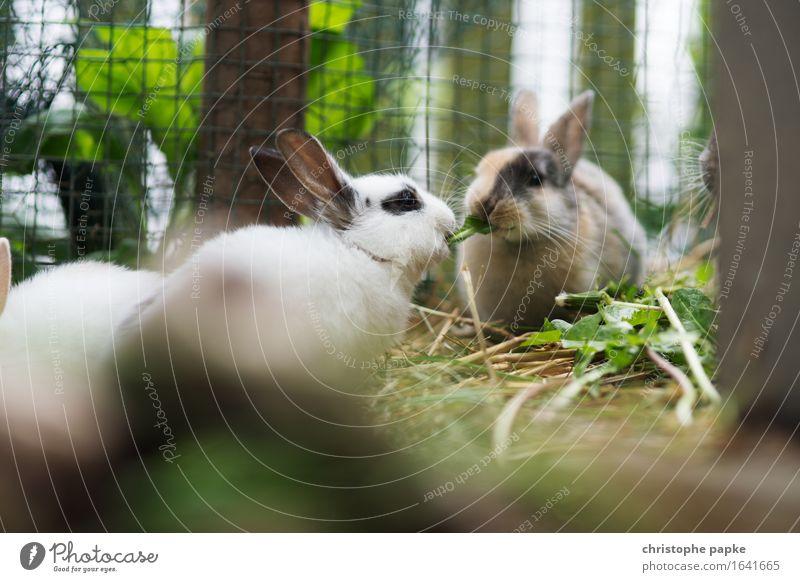 Zwei Zweigkaninchen knabbern an Heu in Stall Tier Haustier Tiergesicht Fell Streichelzoo 2 Tierpaar Fressen niedlich Sympathie Freundschaft Zusammensein Liebe