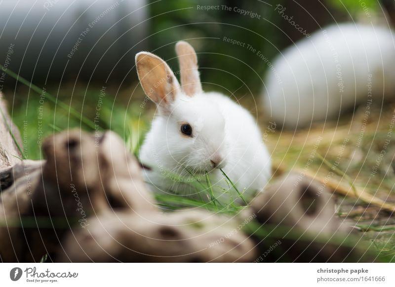 Zufrieden mümmelnd Garten Pflanze Gras Tier Haustier Tiergesicht Fell Hase & Kaninchen 1 2 Tierjunges genießen frisch niedlich außengehege Fressen Farbfoto