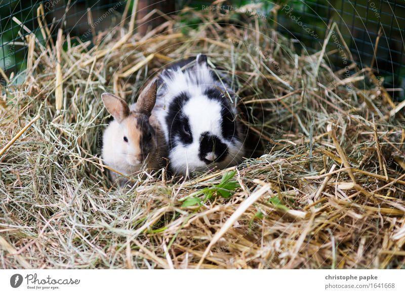 Lazy Hasi Sunday Tier Haustier Tiergesicht Fell Zoo Streichelzoo Hase & Kaninchen 2 Tierpaar Tierjunges beobachten hocken sitzen niedlich Zufriedenheit Ostern