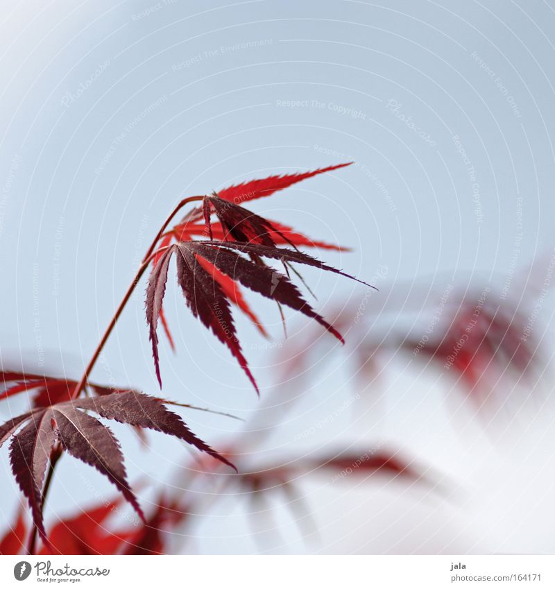 Japanese Maple Tree Farbfoto Außenaufnahme Textfreiraum oben Tag Starke Tiefenschärfe Natur Wolkenloser Himmel Frühling Schönes Wetter Pflanze Blatt Park hell