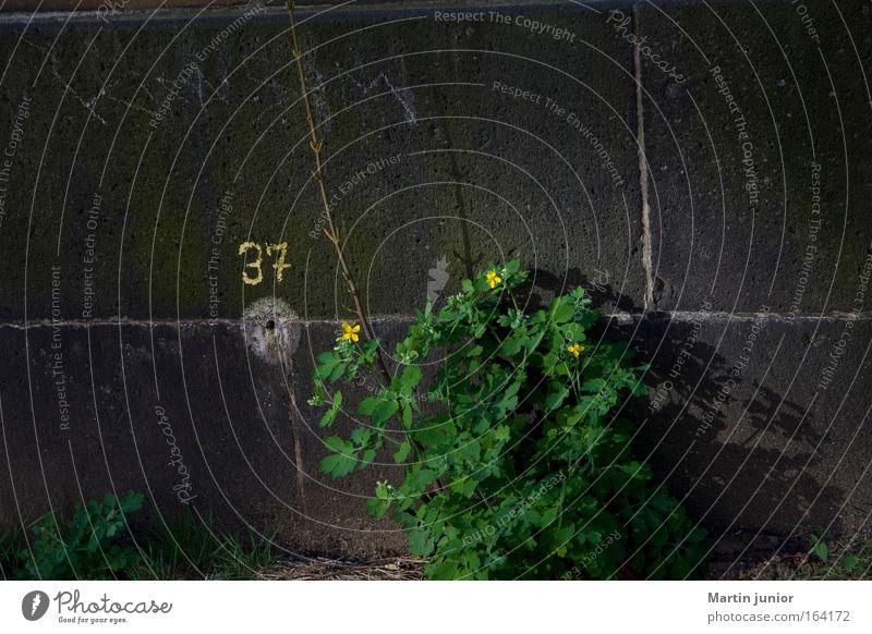 Mauerblümchen Natur Blume grün Pflanze Sommer gelb Blüte Frühling Stein Hoffnung Ziffern & Zahlen Vergänglichkeit einzigartig wild geheimnisvoll