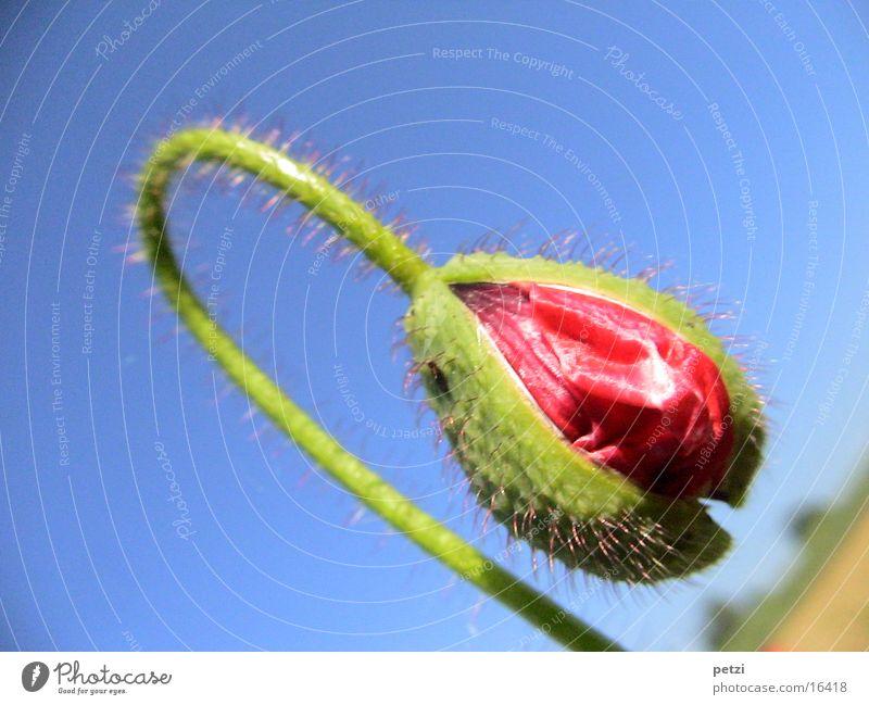 Mohnblüte in Entwicklung Himmel grün blau rot Stengel Hülle aufmachen gekrümmt entfalten Mohnblüte