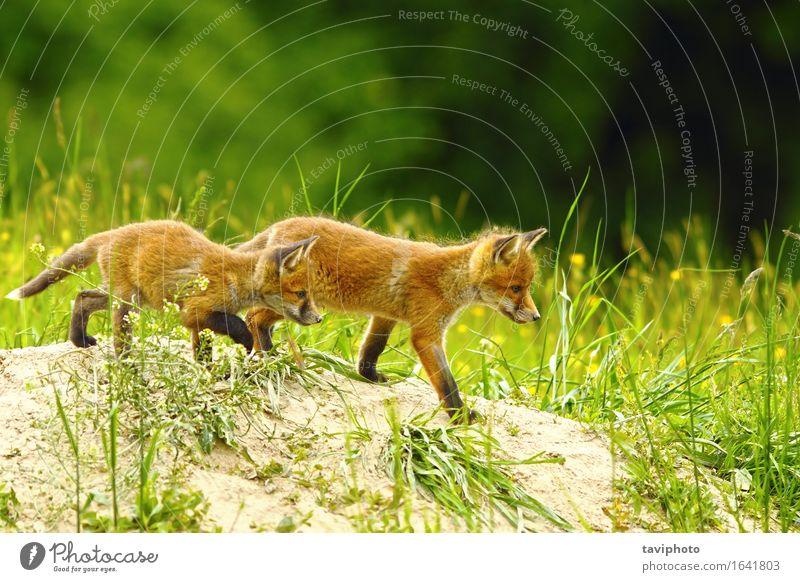 großer Bruder Fuchs Natur alt schön rot Tier Freude Familie & Verwandtschaft Spielen Glück klein Zusammensein Freundschaft wild Kindheit Baby niedlich