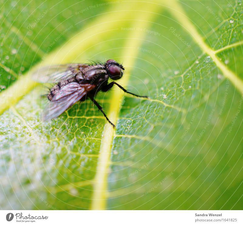 Stubenfliege Tier Fliege 1 beobachten fliegen Überleben Umwelt Umweltschutz Insekt Insektenschutz Flügel Blatt Blattgrün Außenaufnahme Nahaufnahme Makroaufnahme